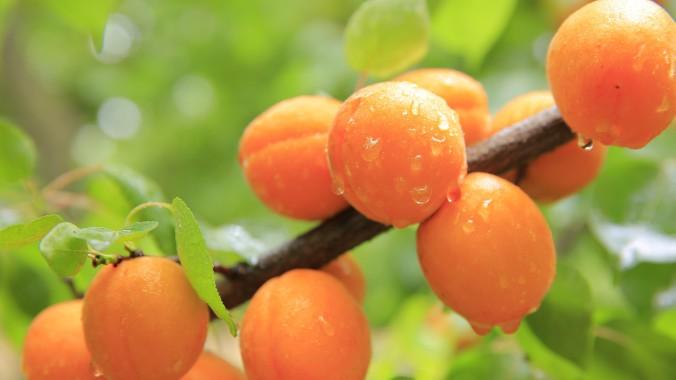 Frische Aprikosen sind gesund!